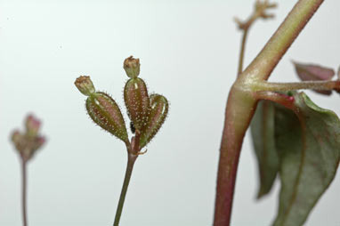 APII jpeg image of Boerhavia dominii  © contact APII