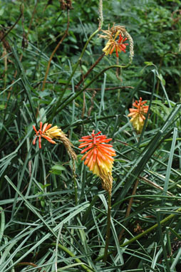 APII jpeg image of Kniphofia uvaria  © contact APII