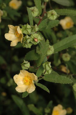 APII jpeg image of Sida rhombifolia  © contact APII
