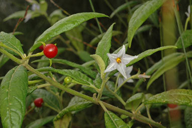 APII jpeg image of Solanum stelligerum  © contact APII