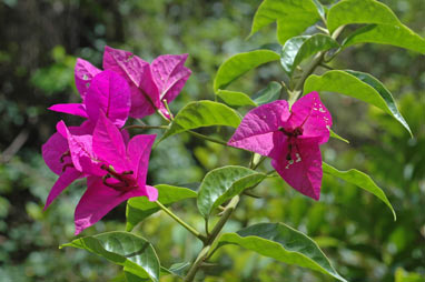 APII jpeg image of Bougainvillea glabra  © contact APII