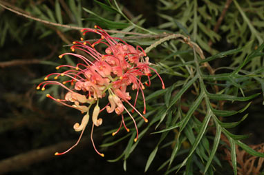 APII jpeg image of Grevillea 'Superb'  © contact APII