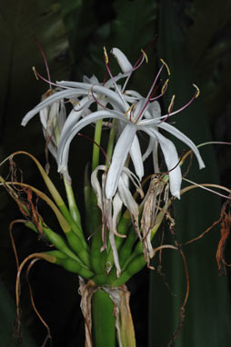APII jpeg image of Crinum pedunculatum  © contact APII