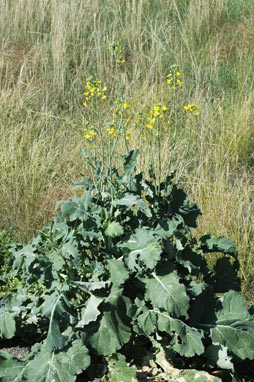 APII jpeg image of Brassica rapa  © contact APII