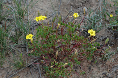 APII jpeg image of Oxalis perennans  © contact APII