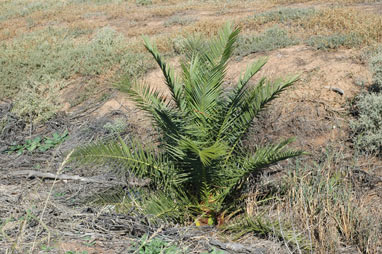 APII jpeg image of Phoenix canariensis  © contact APII