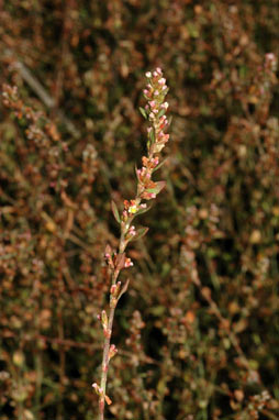 APII jpeg image of Polygonum aviculare  © contact APII