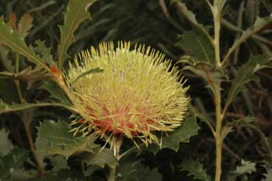 APII jpeg image of Banksia heliantha  © contact APII