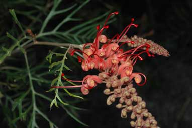 APII jpeg image of Grevillea 'Coconut Ice'  © contact APII