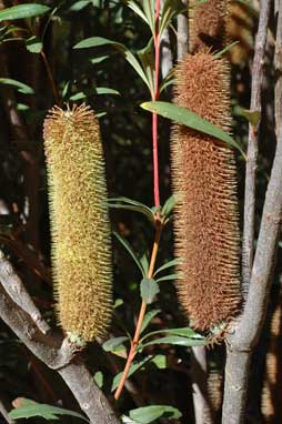 APII jpeg image of Banksia paludosa  © contact APII