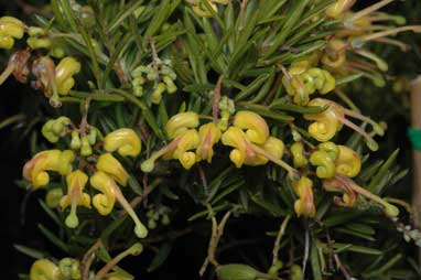 APII jpeg image of Grevillea 'Lemondaze'  © contact APII