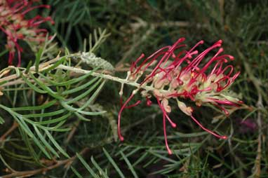 APII jpeg image of Grevillea 'Billy Bonkers'  © contact APII