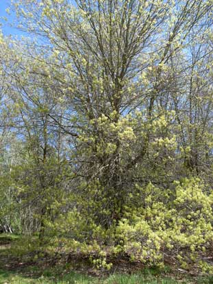 APII jpeg image of Quercus palustris  © contact APII