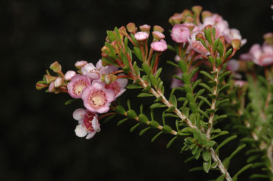 APII jpeg image of Thryptomene  © contact APII