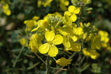 APII jpeg image of Brassica napus  © contact APII