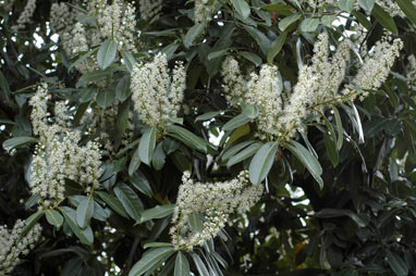 APII jpeg image of Prunus laurocerasus  © contact APII