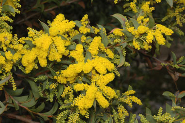 APII jpeg image of Acacia triptera  © contact APII