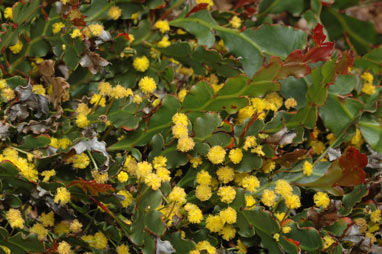 APII jpeg image of Acacia bifaria  © contact APII
