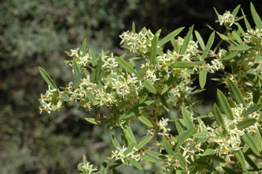 APII jpeg image of Pimelea cremnophila  © contact APII