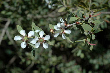 APII jpeg image of Leptospermum laevigatum  © contact APII
