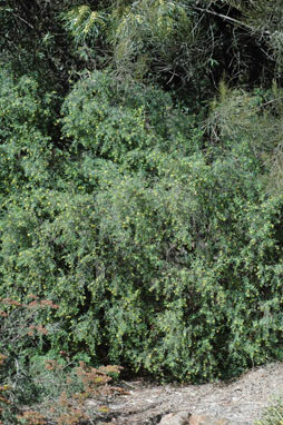 APII jpeg image of Pimelea neo-anglica  © contact APII