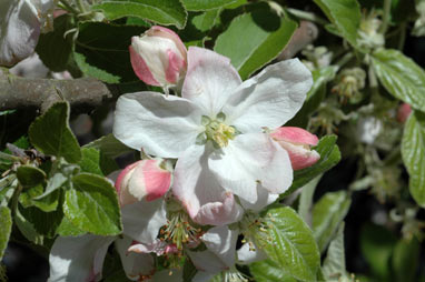 APII jpeg image of Malus pumila  © contact APII