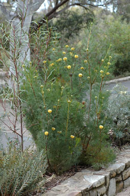 APII jpeg image of Isopogon anemonifolius  © contact APII