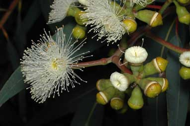 APII jpeg image of Corymbia eximia  © contact APII