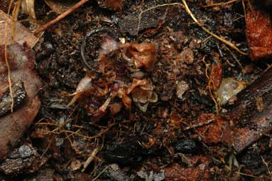 APII jpeg image of Rhizanthella slateri  © contact APII