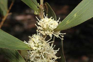 APII jpeg image of Hakea plurinervia  © contact APII