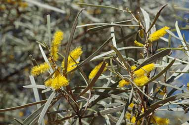 APII jpeg image of Acacia brachystachya  © contact APII