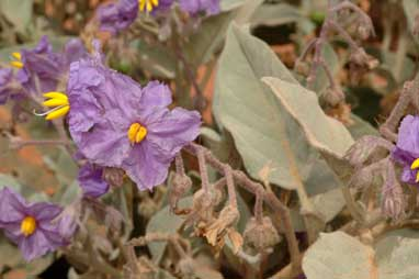 APII jpeg image of Solanum ellipticum  © contact APII