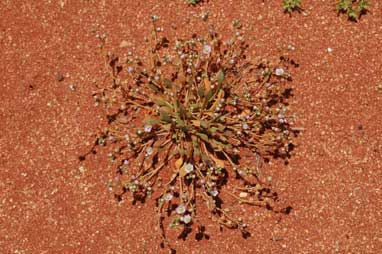 APII jpeg image of Calandrinia pumila  © contact APII