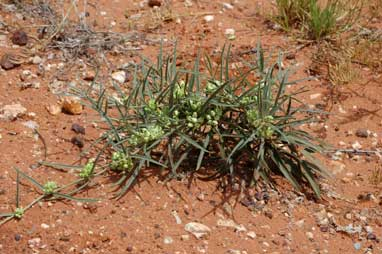 APII jpeg image of Marsdenia australis  © contact APII