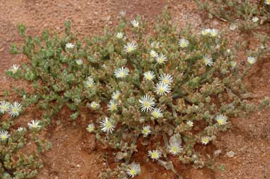 APII jpeg image of Mesembryanthemum nodiflorum  © contact APII