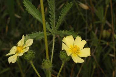 APII jpeg image of Potentilla recta  © contact APII