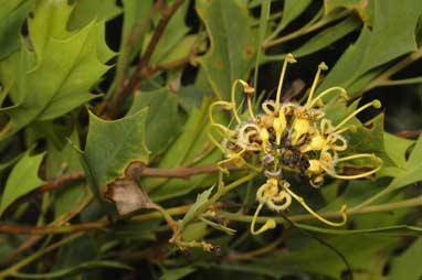 APII jpeg image of Grevillea angulata  © contact APII