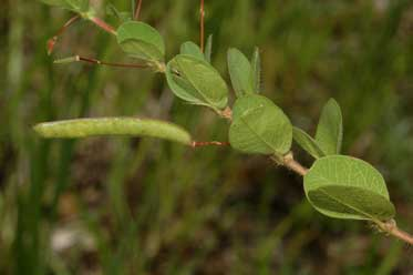 APII jpeg image of Chamaecrista rotundifolia var. rotundifolia  © contact APII