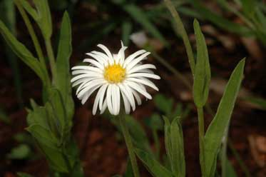 APII jpeg image of Camptacra gracilis f. gracilis  © contact APII