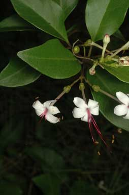 APII jpeg image of Clerodendrum inerme  © contact APII