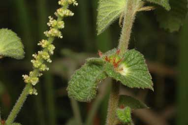 APII jpeg image of Acalypha nemorum  © contact APII