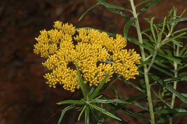 APII jpeg image of Cassinia telfordii  © contact APII