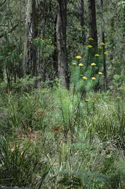 APII jpeg image of Cassinia leptocephala  © contact APII
