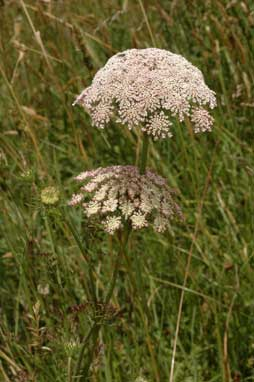 APII jpeg image of Daucus carota  © contact APII