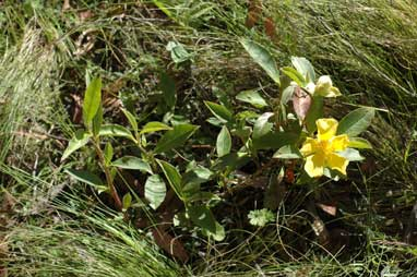 APII jpeg image of Hibbertia scandens  © contact APII
