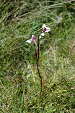 APII jpeg image of Diuris venosa  © contact APII