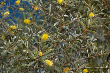 APII jpeg image of Acacia clelandii  © contact APII