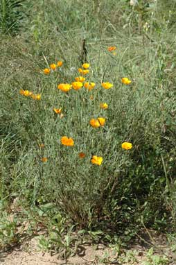 APII jpeg image of Eschscholzia californica  © contact APII
