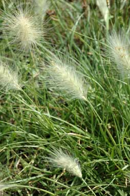 APII jpeg image of Pennisetum villosum  © contact APII