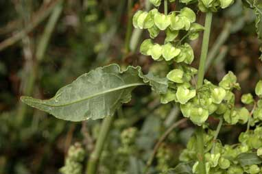 APII jpeg image of Rumex crispus  © contact APII